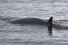 漂浮在南极州的小须鲸 免版税库存图片