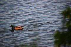 漂浮在哈德森的鸭子 库存照片
