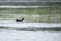 漂浮在外形的北美洲共同的gallinule在往灯心草词根的湖 免版税库存图片