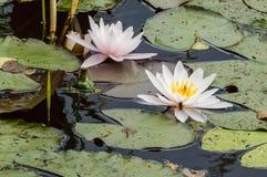 漂浮在大长圆形的一朵白色和桃红色莲花在池塘离开 库存图片