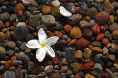 漂浮在岩石上的一朵唯一白色热带花 免版税库存图片