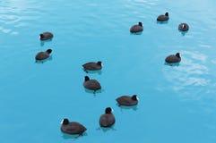 漂浮在开阔水域的野生黑鸭 免版税库存照片