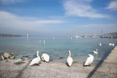 漂浮在日内瓦湖的天鹅 免版税库存图片