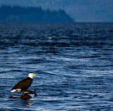 漂浮在日志,加拿大的成人老鹰 库存照片