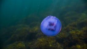 漂浮在水下的大蓝色水母 股票视频