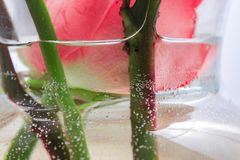 漂浮在水和泡影的罗斯头 免版税库存图片