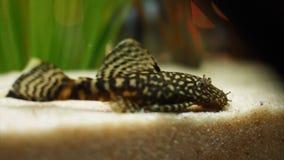 漂浮在水族馆底部的特写镜头观点的美丽的小被察觉的鲶鱼在绿藻类附近 ?? ?? 免版税库存图片