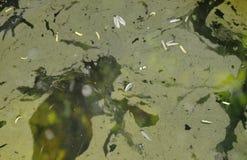 漂浮在水池的水表面上的水生杂草污点 免版税图库摄影