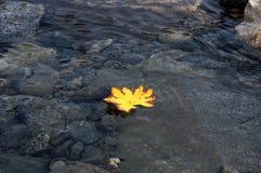 漂浮在水的一片美丽的秋天叶子 秋天背景特写镜头上色常春藤叶子橙红 图库摄影