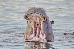 漂浮在水的河马的画象 河马河马amphibius,从古希腊'河马' 库存照片