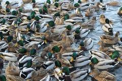 漂浮在水的鸭子人群  免版税库存图片