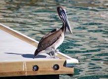 漂浮在水的鹈鹕游泳在海洋热带天堂在Los Cabos墨西哥 免版税库存图片