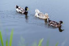 漂浮在池塘的三只鸭子照片  库存照片