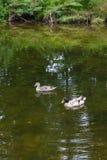 漂浮在池塘的两只野鸭鸭子在夏时 库存照片