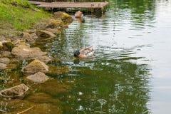 漂浮在池塘的两只野鸭鸭子在夏时 免版税库存照片