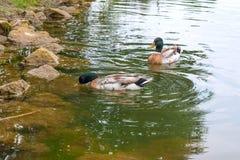 漂浮在池塘的两只野鸭鸭子在夏时 库存图片