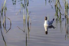 漂浮在池塘的海鸥 库存照片