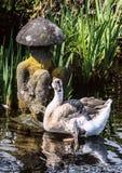 漂浮在池塘的灰色鹅在日本庭院里 免版税库存照片