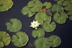 漂浮在池塘的白百合 库存图片