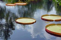 漂浮在池塘的睡莲叶 库存照片