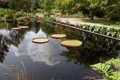 漂浮在池塘的睡莲叶 免版税库存照片