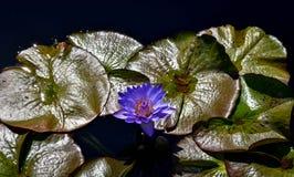 漂浮在池塘的紫色莲花 免版税库存图片