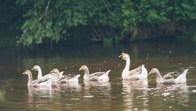 漂浮在池塘的美丽的白色鹅牧群在农舍附近 免版税库存照片