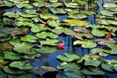 漂浮在池塘的荷花 免版税库存图片