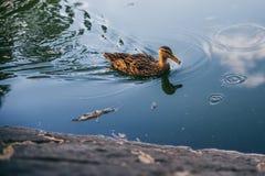 漂浮在池塘的逗人喜爱的鸭子作为太阳将设置 免版税图库摄影