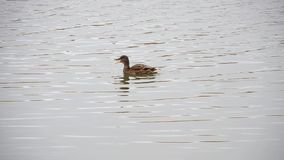 漂浮在池塘的野鸭 股票视频