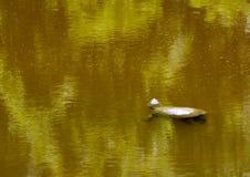漂浮在池塘的鳄龟 免版税库存照片