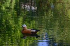 漂浮在池塘的鸭子 库存照片