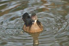 漂浮在池塘的鸳鸯。 库存照片