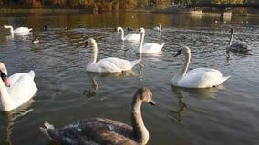 漂浮在河的平安的白色天鹅在秋天日落期间 影视素材
