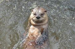 漂浮在河的超级逗人喜爱的河中水獭 免版税库存照片