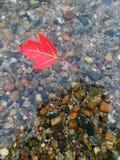 漂浮在浅小河的唯一红色秋天叶子 免版税库存照片