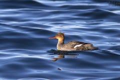 漂浮在海湾中Avachin的水域的红breasted秋沙鸭 免版税库存图片