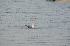 漂浮在海湾的海鸥在清早小时内 免版税库存照片