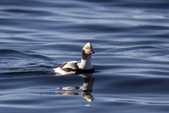 漂浮在海湾的水域的中公长尾的鸭子 免版税库存照片