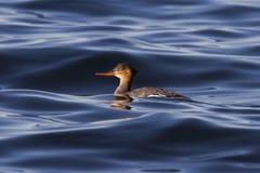 漂浮在海湾的水域的中母红breasted秋沙鸭 库存照片