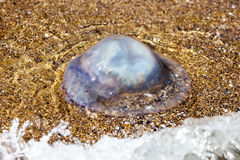 漂浮在海盐水湖的更多深度水母由于t 库存照片