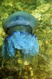 漂浮在海盐水湖的更多深度水母由于t 库存图片