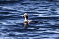 漂浮在海洋的水域的中公长尾的鸭子与 免版税库存图片