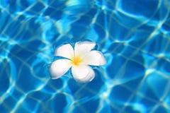 漂浮在游泳池的热带花 免版税图库摄影
