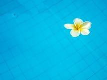 漂浮在游泳池的白色热带赤素馨花花 库存照片