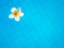 漂浮在游泳池的白色热带赤素馨花花 免版税库存照片