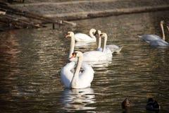 漂浮在湖水中的小组白色天鹅 库存图片