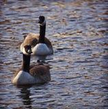 漂浮在湖的两只红鸭子在日落浇灌 免版税库存图片