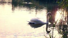 漂浮在湖的天鹅在日落 股票录像