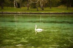 漂浮在湖的天鹅 免版税库存图片